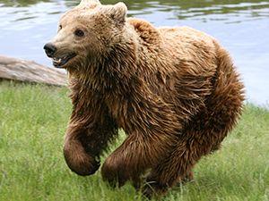230 kiloluk boz ayı kazaya kurban gitti