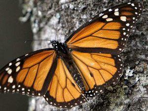 Kelebeklerin şaşırtan hareketi