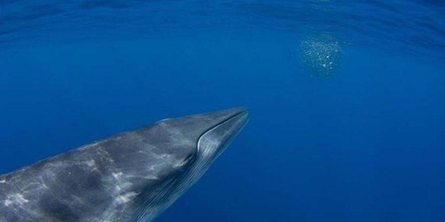 Meksika kıyılarında Bryde balinaları görüntülendi 1