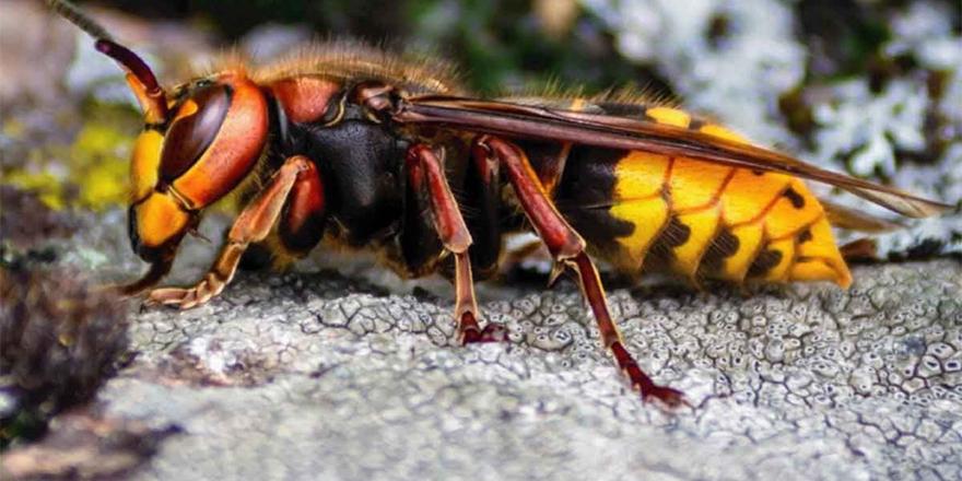 Covid-19'un ardından şimdi de katil eşek arıları