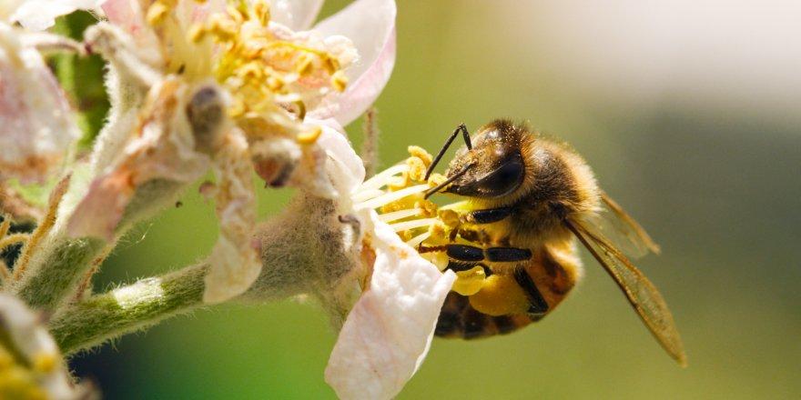 Bal arısı zehri kanser hücrelerini yok etti