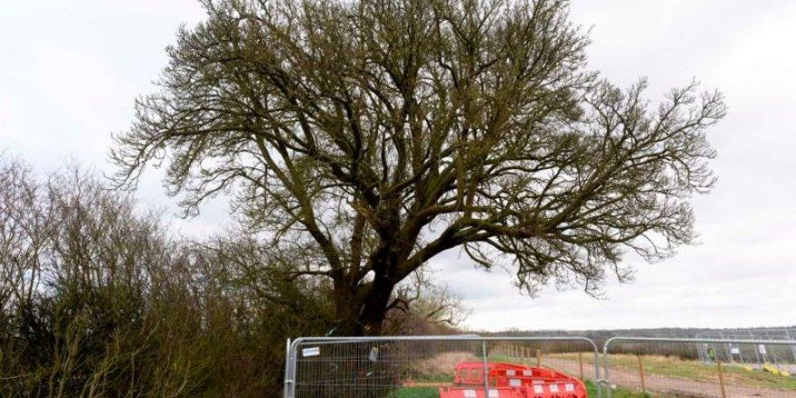250 yıllık ağaç tren yolu için kesildi