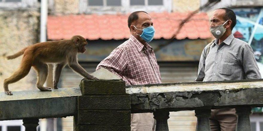 Hindular kutsal maymunları için özel fetva vermek zorunda kaldı: Zaruret halinde öldürün