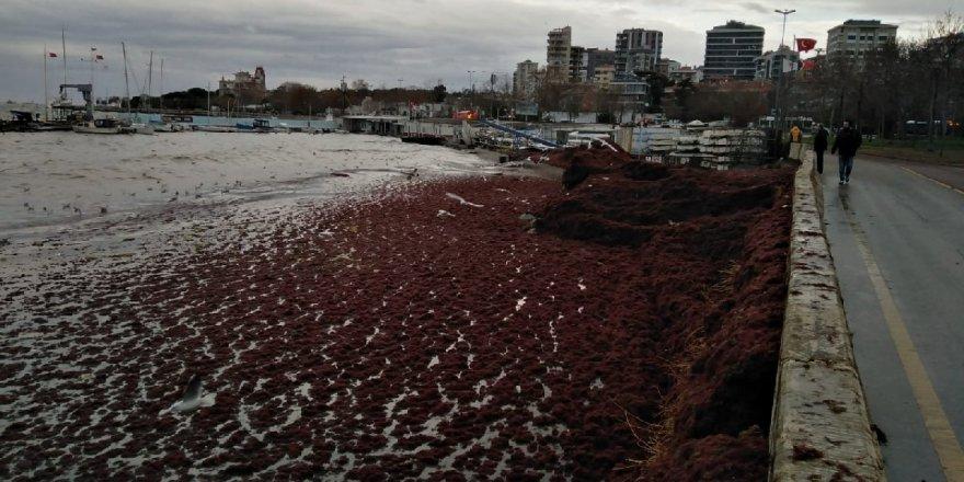Caddebostan Sahili'ni kırmızı yosunlar sardı!