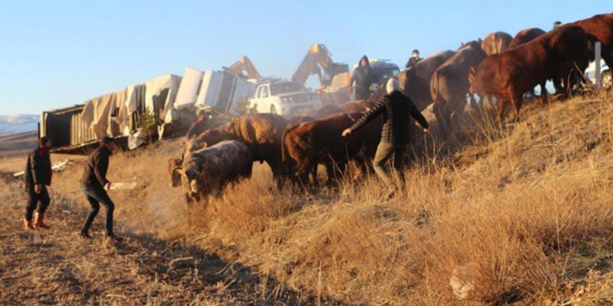 Büyükbaş yüklü TIR devrildi: 19 hayvan yaralandı 5 tanesi kayıp