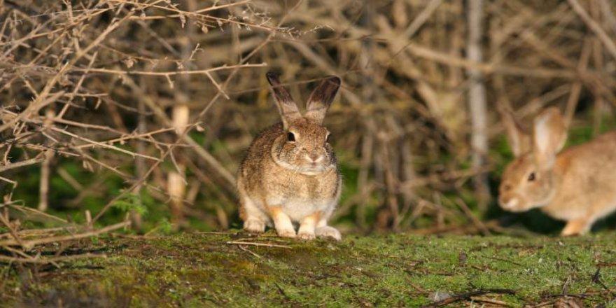 Çin kaynaklı yeni bir virüs tavşanları öldürüyor