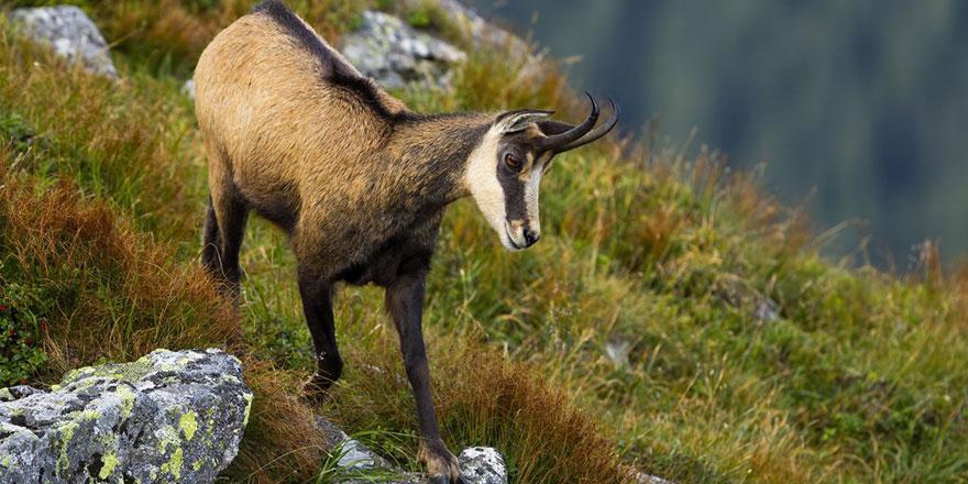 Dağ keçileri şimdilik güvende