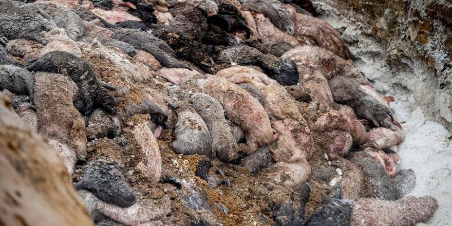 Danimarka'da toprağın üzerine çıkan ölü vizonlar sorunu büyüyor