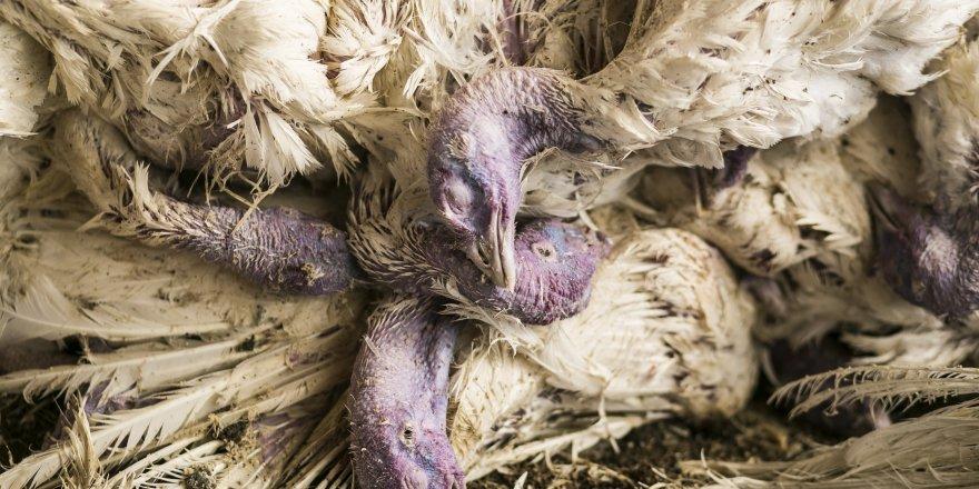 İngiltere'de kuş gribi paniği