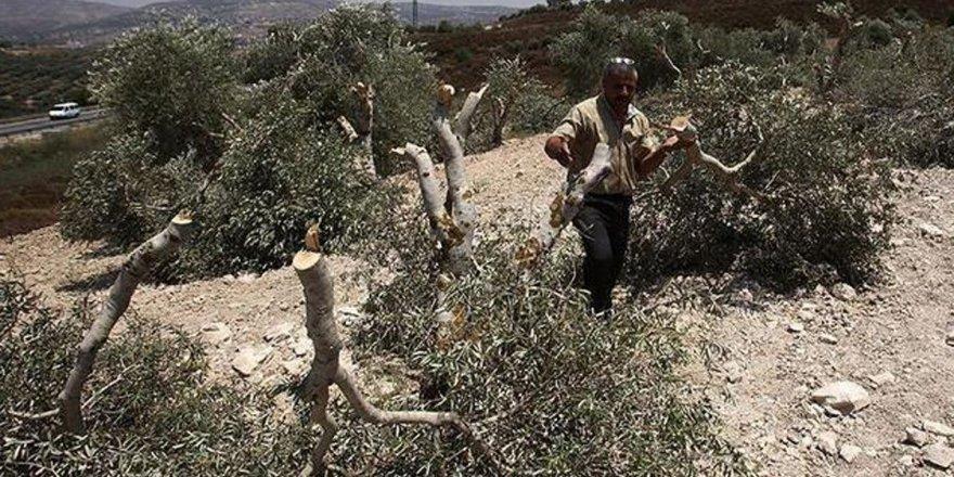 İsrail askerleri, Filistinlilere ait 2 bin zeytin ağacını kesti!