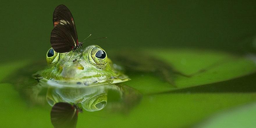 Kurbağaların toplu ölümü sonrası yok oluyorlar