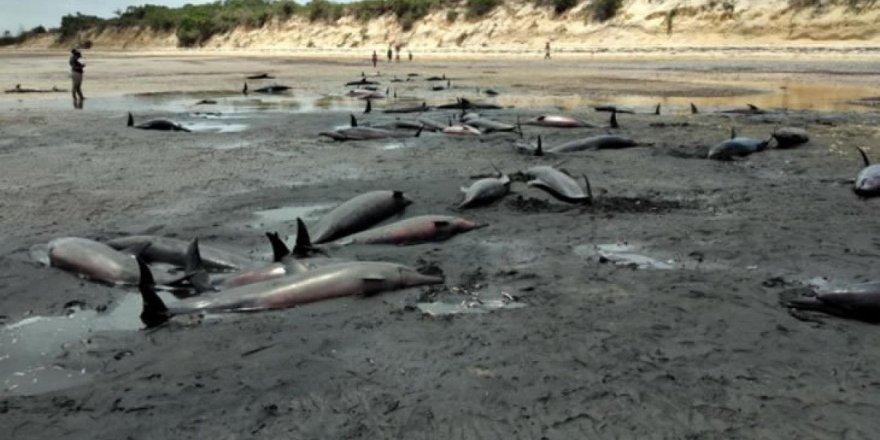 Mozambik sahilinde 100'ün üzerinde ölü yunus bulundu