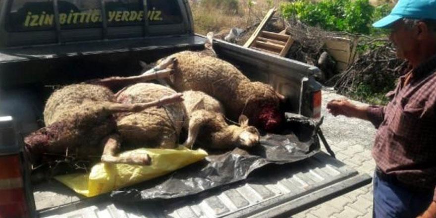 Sokak köpekleri 6 koyunu parçaladı