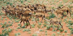 Avustralya'da 10 bin devenin katledileceği operasyon başlıyor