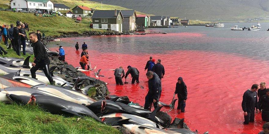 Kurbanlara elektroşok uygulayan ikiyüzlü batının toplu balina katliamı